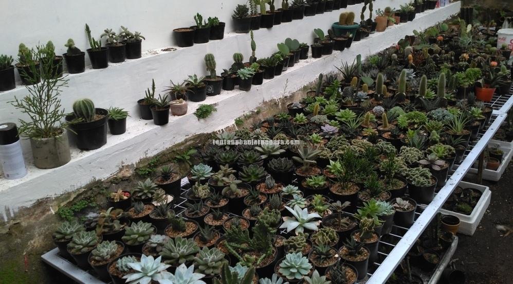 Foto: CACTIA.ID tanaman hias kaktus budidaya seorang pemuda Banjarnegara (dokumen pribadi)